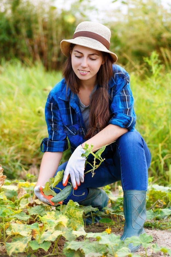 Kvinnaplockninggurkor i fältet royaltyfri foto