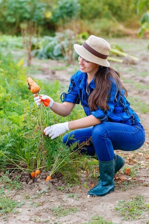 Kvinnaplockningmorötter i grönsakträdgård royaltyfri foto