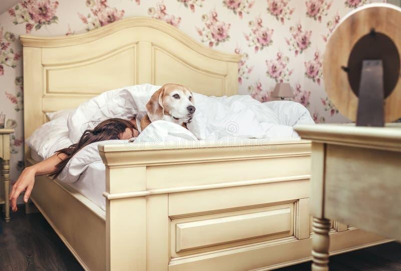 Kvinnasömn i säng- och beaglehundlögner under filten med henne royaltyfri fotografi