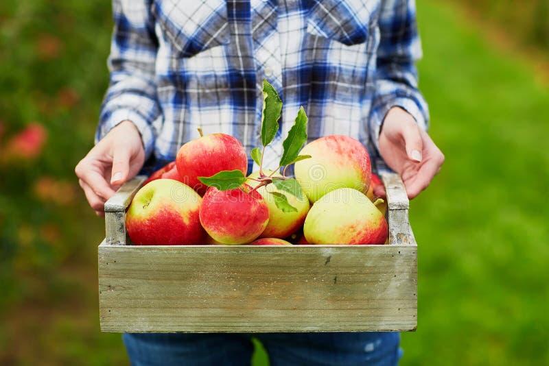 Kvinnas händer som rymmer spjällådan med röda äpplen arkivbilder