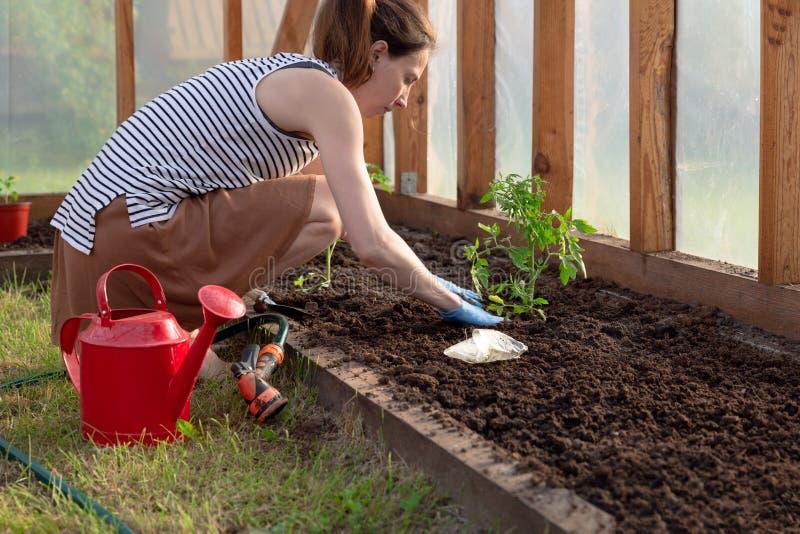Kvinnas h?nder som planterar tomatplantor i v?xthus Organiskt arbeta i tr?dg?rden och tillv?xtbegrepp arkivbilder