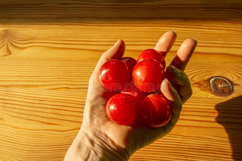 Kvinnas skörd för handinnehav av små mogna plommoner royaltyfri bild