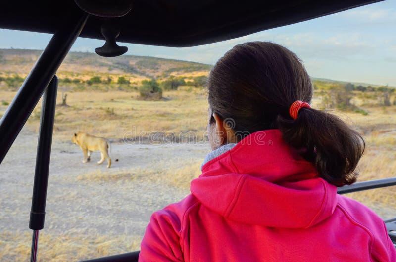 Kvinnaturist i safaribil i Afrika, hållande ögonen på lejoninna och afrikansavannahdjurliv royaltyfri foto