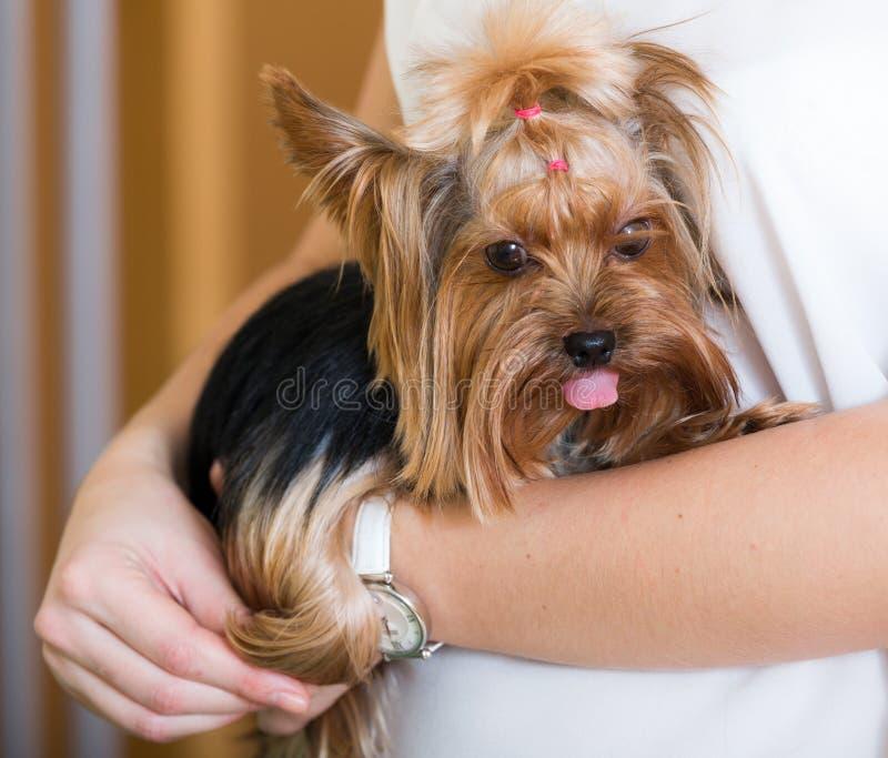 Kvinnlig ägare som rymmer den Yorkshire Terrier hunden royaltyfri bild
