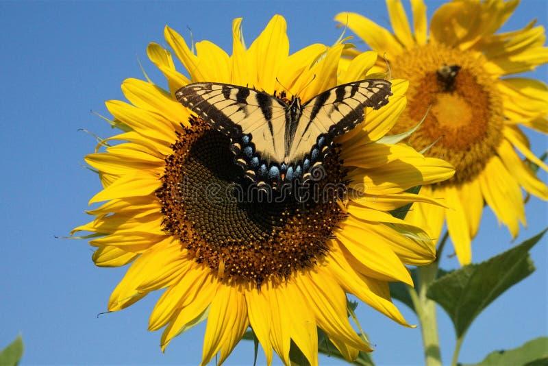 Kvinnlig östlig Tiger Swallowtail fjäril på en solros fotografering för bildbyråer