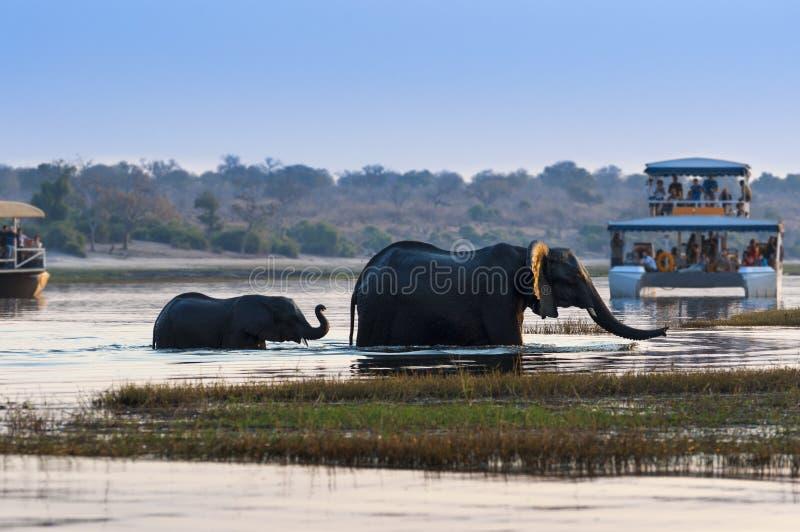 Kvinnlig afrikansk elefant och dess gröngöling som korsar den Chobe floden i den Chobe nationalparken med turist- fartyg på bakgr arkivbilder