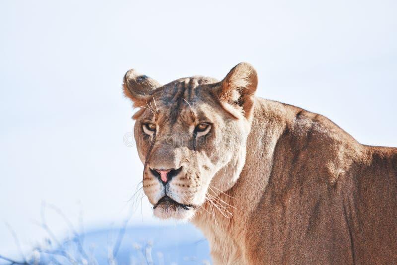 Kvinnlig afrikansk lejonstående, lejoninna royaltyfri foto