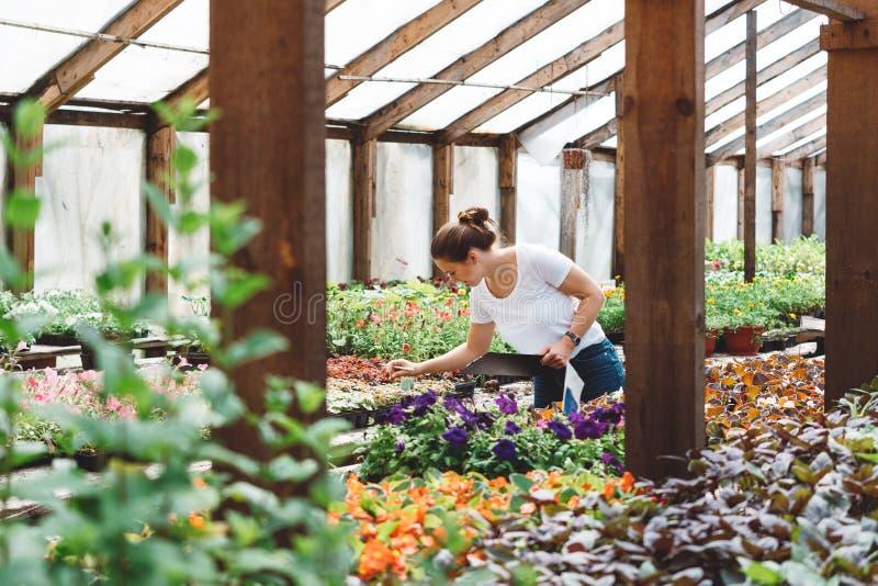 Kvinnlig agronom som arbetar med f?rgrika blommor i v?xthus arkivbild