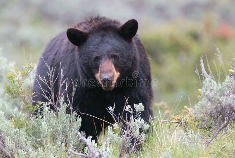 Kvinnlig amerikansk svart björn (den americanus ursusen) i den Yellowstone nationalparken royaltyfri fotografi