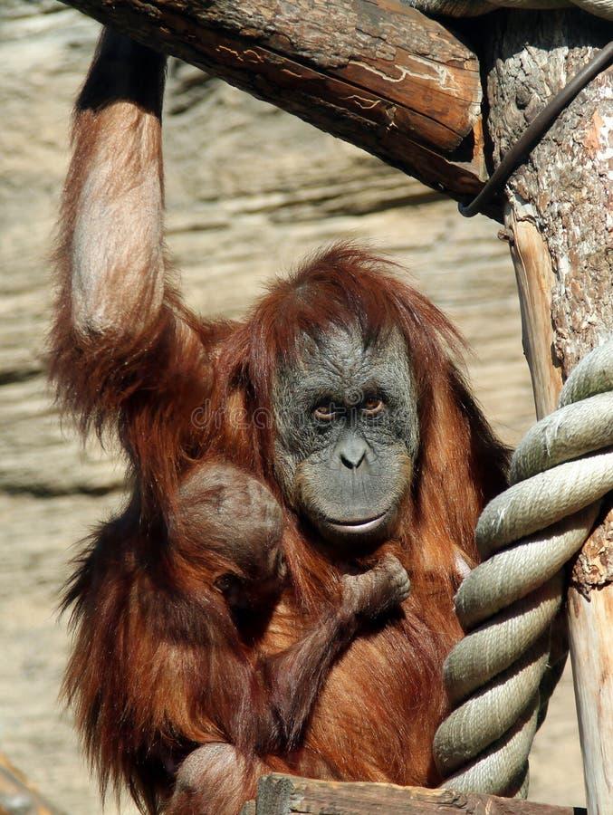 Kvinnlig av abeliien för Sumatran orangutangPongo med en behandla som ett barn royaltyfri foto