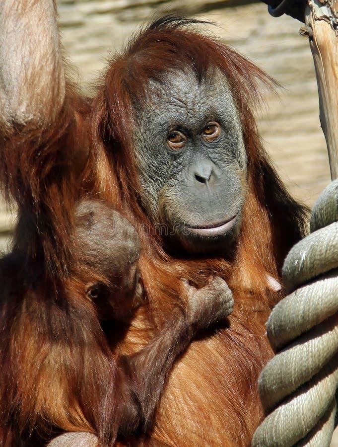 Kvinnlig av abeliien för Sumatran orangutangPongo med en behandla som ett barn arkivfoton