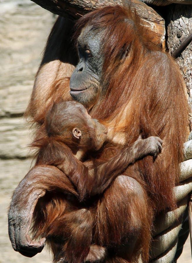 Kvinnlig av abeliien för Sumatran orangutangPongo med en behandla som ett barn fotografering för bildbyråer