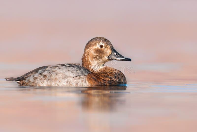 Kvinnlig av den gemensamma pochardAythyaferinaen, den härliga fågeln som liv i sjöar och damm, Ústà nad Labem område, Tjeckien royaltyfria bilder