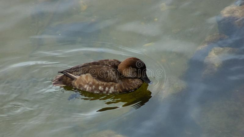 Kvinnlig av f?r pochard- eller Aythyaferinan?rbild f?r dyka and gemensam simning f?r st?ende i floden, selektiv fokus, grund DOF arkivfoto