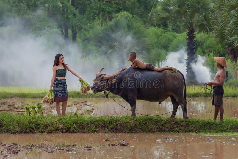 Kvinnlig bonde i bygd genom att använda buffeln till att ploga för ri royaltyfria foton