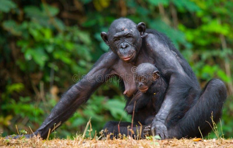 Kvinnlig bonobo med en behandla som ett barn congo demokratisk republik Lola Ya BONOBOnationalpark arkivfoto
