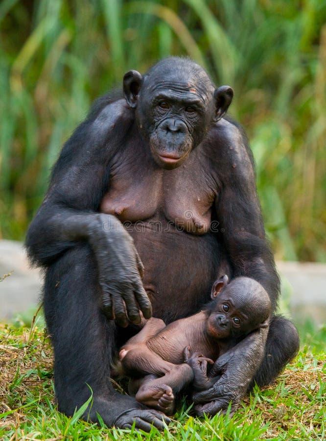 Kvinnlig bonobo med en behandla som ett barn congo demokratisk republik Lola Ya BONOBOnationalpark royaltyfri bild