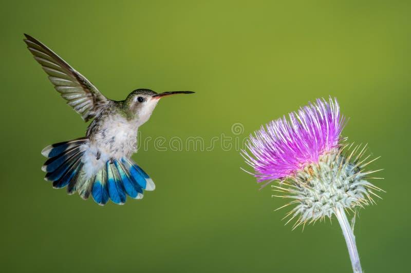 Kvinnlig broadbillkolibri som matar på den rosa tisteln royaltyfria bilder