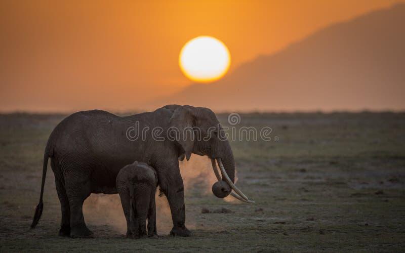 Kvinnlig elefant med ungen på solnedgången i den Amboseli nationalparken arkivbild