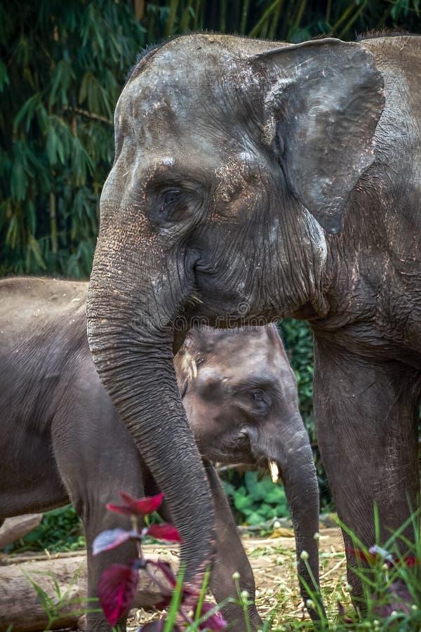 Kvinnlig elefant som täcker henne för att behandla som ett barn från något hot royaltyfri fotografi
