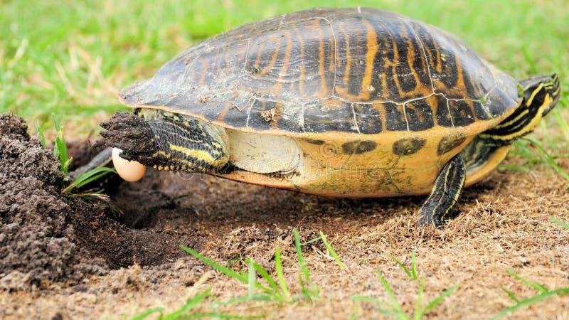 Florida cootersköldpadda som lägger ägget royaltyfria foton