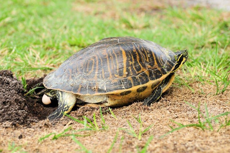Florida sköldpadda som lägger ägget fotografering för bildbyråer