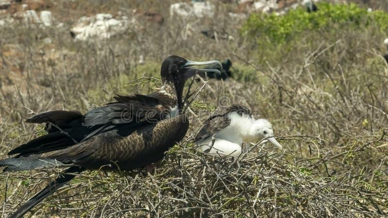 Kvinnlig frigatebird och fågelunge på ett rede på islaen Nth Seymour i Galapagosen arkivfoton