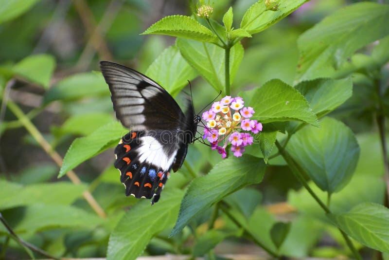 Kvinnlig fruktträdgårdswallowtailfjäril royaltyfri foto
