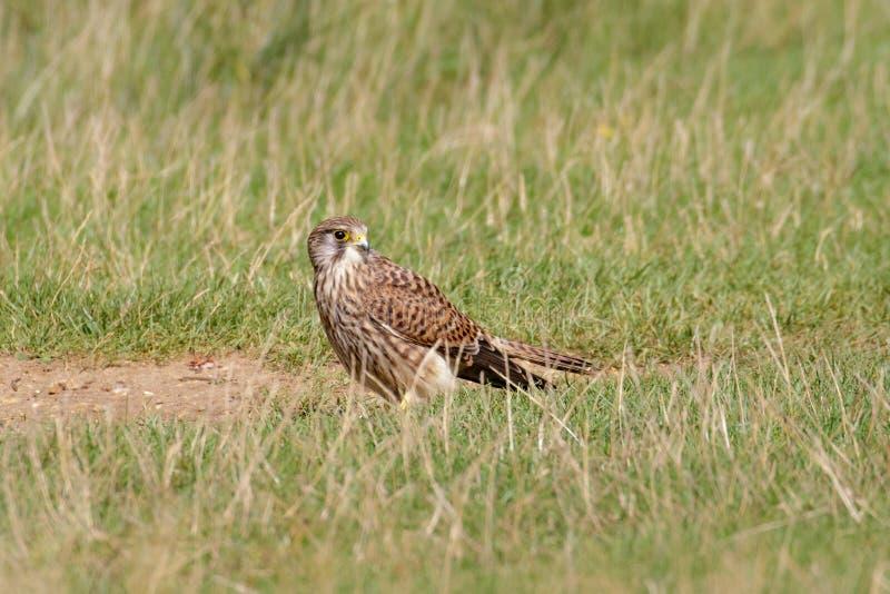 Kvinnlig gemensam tornfalk (den Falco tinnunculusen) på jordningen royaltyfri bild