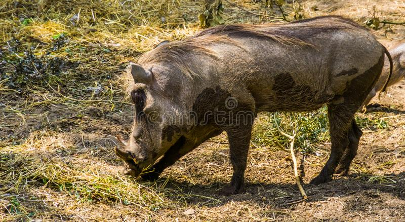 Kvinnlig gemensam vårtsvin i closeupen, populär vildsvinspecie från Afrika fotografering för bildbyråer