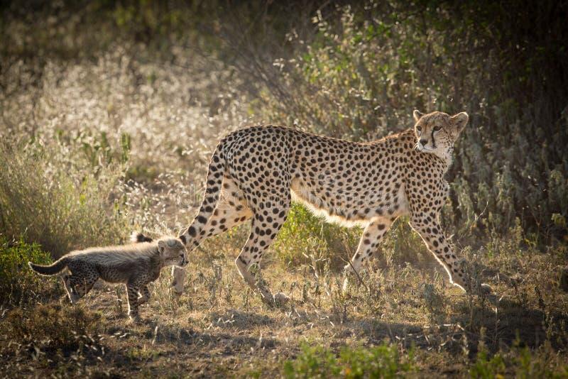 Kvinnlig gepard med en gröngöling, Ndutu, Serengeti, Tanzania arkivfoton