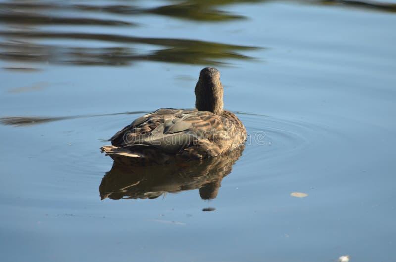 Kvinnlig gräsand bak baksida, bruna andAnasplatyrhynchosswims i sjön i höst royaltyfri foto
