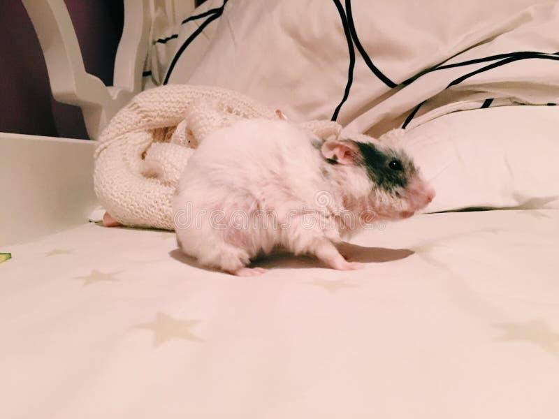 Kvinnlig hamster fotografering för bildbyråer