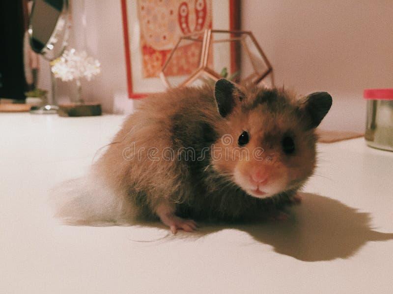 Kvinnlig hamster arkivbild