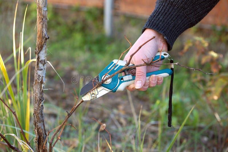 Kvinnlig hand som beskär vinrankadruvor royaltyfri foto