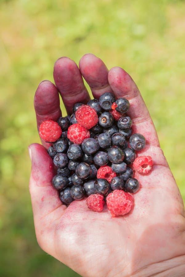 Kvinnlig hand som fylls med valda mogna blåbär och hallon royaltyfri fotografi