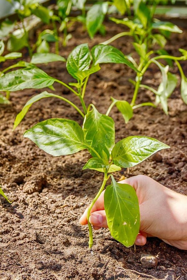 Kvinnlig hand som planterar pepparplantor in i jordningen royaltyfria foton