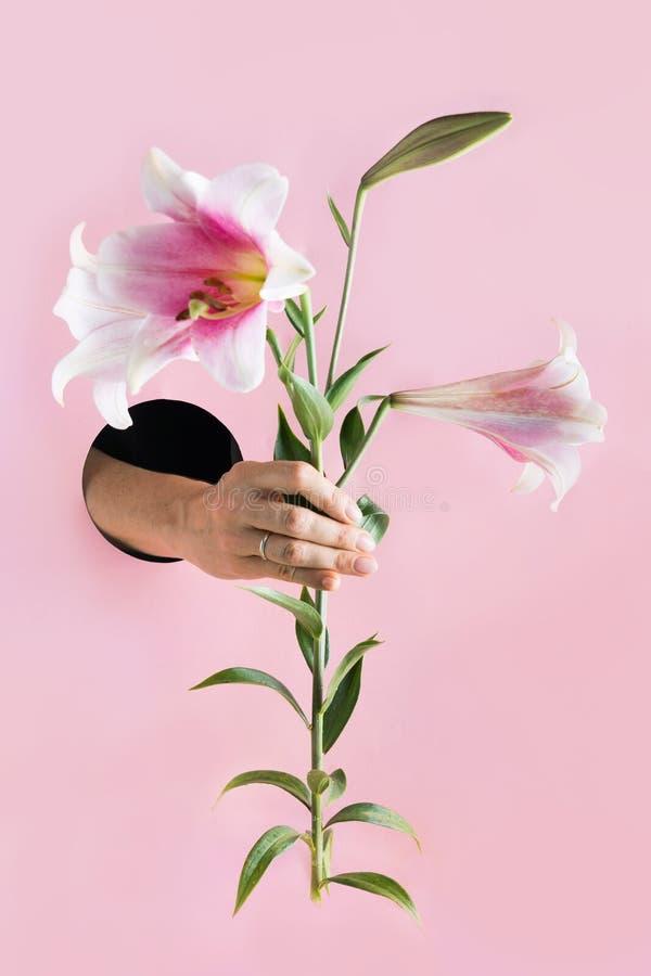 Kvinnlig hand som rymmer den rosa liljan i pappershål arkivbild