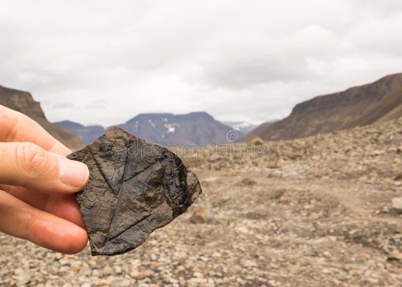 Kvinnlig hand som rymmer en sten med fossil- sidor Berg i bakgrunden Longyearbyen Spitsbergen på Svalbard royaltyfria bilder