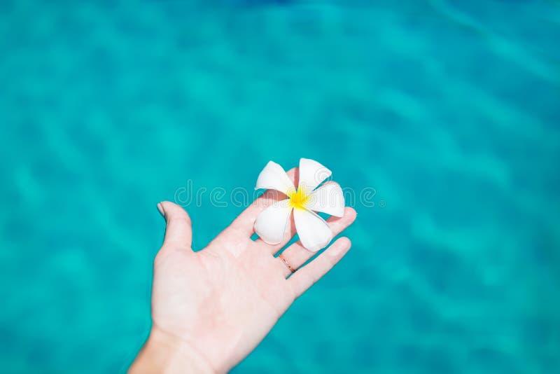 Kvinnlig hand som rymmer plumeriafrangipaniblomman i simbassäng Sommarsemester, lopp, ferie, tropisk begreppsbakgrund arkivfoton