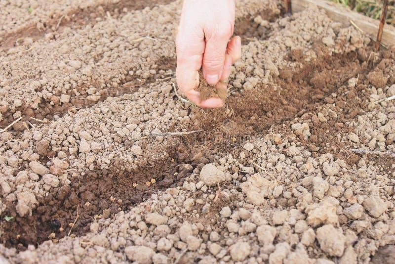 Kvinnlig hand som sår fröt i jordningen, plantera för vår av grönsaker i trädgården royaltyfria foton