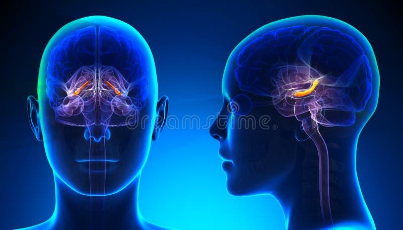 Kvinnlig Hippocampus Brain Anatomy - blått begrepp vektor illustrationer
