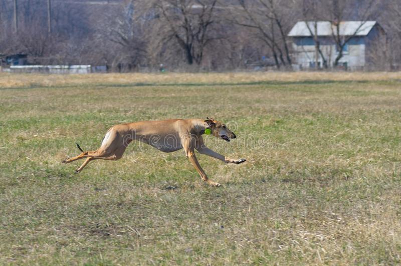 Kvinnlig hund för Hortaya borzaya som kör i fält på vårsäsongen fotografering för bildbyråer