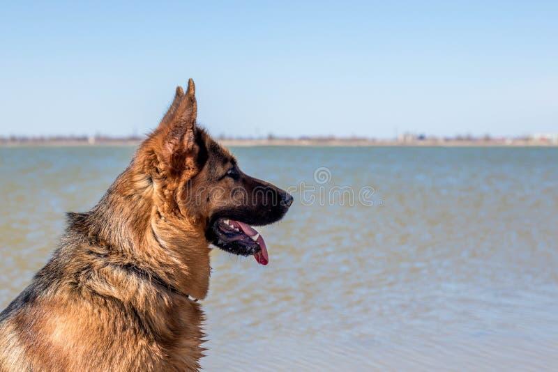 Kvinnlig hund för tysk herde som sitter på sjökust Hem- husdjur St?ende f?r sidosikt royaltyfri fotografi