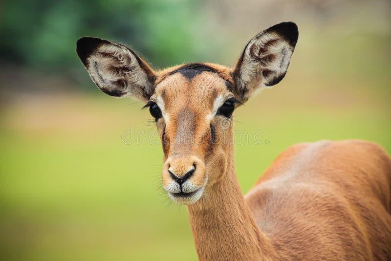 Kvinnlig impala royaltyfri foto