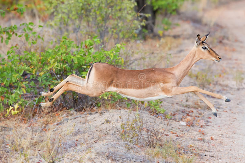 Kvinnlig impaladoespring och banhoppning i väg från fara arkivbilder