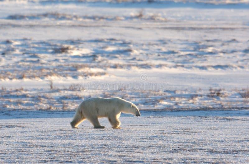 Kvinnlig isbjörn royaltyfria foton
