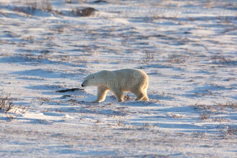 Kvinnlig isbjörn royaltyfri bild