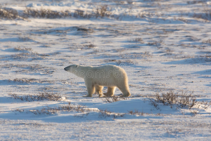 Kvinnlig isbjörn arkivfoto