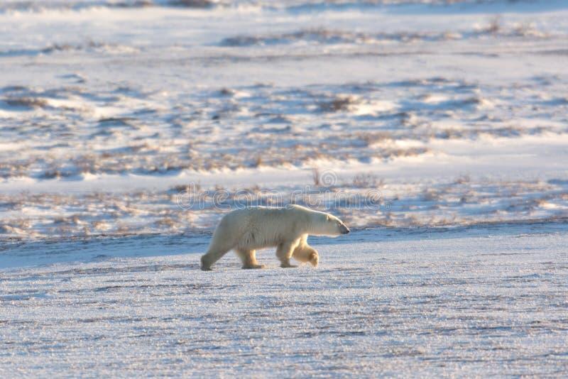 Kvinnlig isbjörn arkivbild